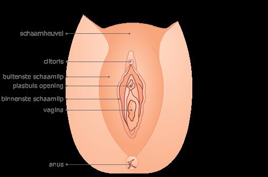 Anatomie van de vagina